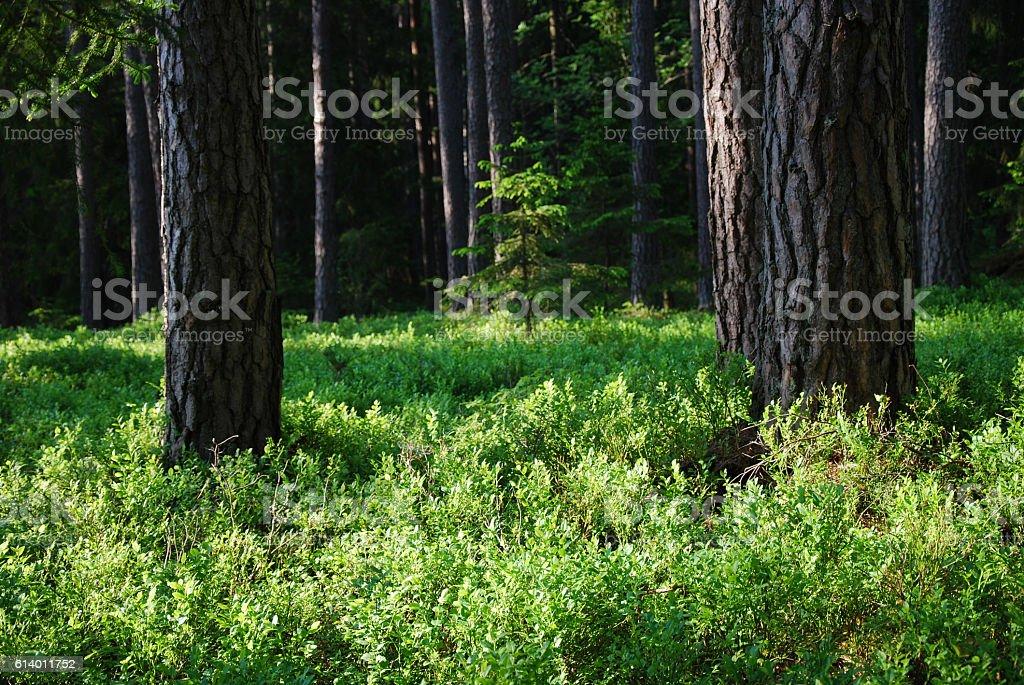 Shiny blueberry bushes stock photo