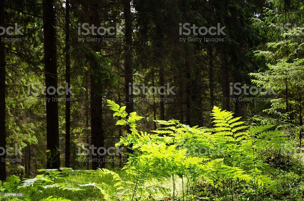 Shiny bracken in a dark green forest stock photo
