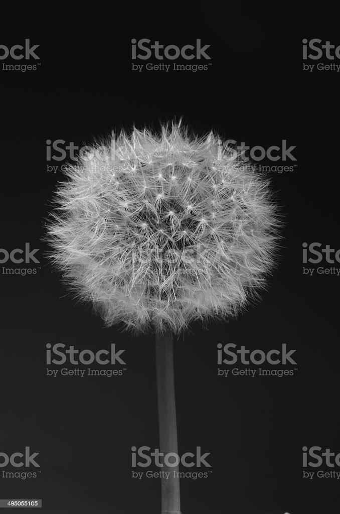 Shiny dandelion, monochrome and vertical royalty-free stock photo