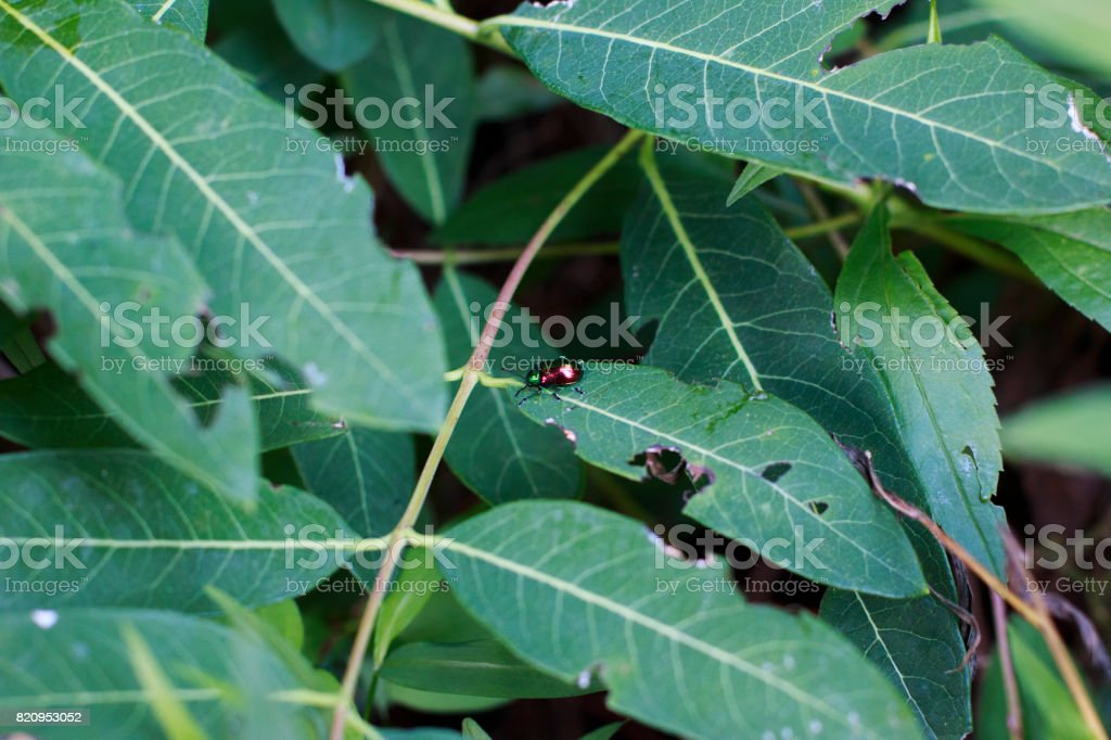Shiny Dogbane Beetle stock photo