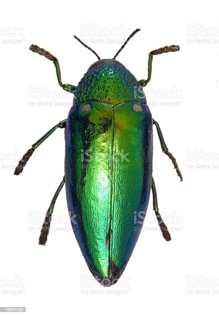 Shiny Green Beetle royalty-free stock photo