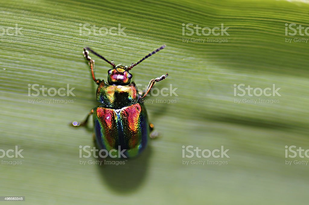 Shiny small insect - Dead nettle beetle (chrysolina fastuosa). stock photo