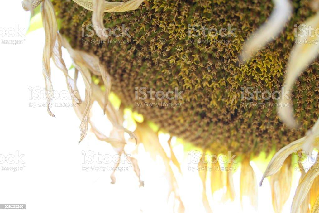 Shiny Sunflower stock photo