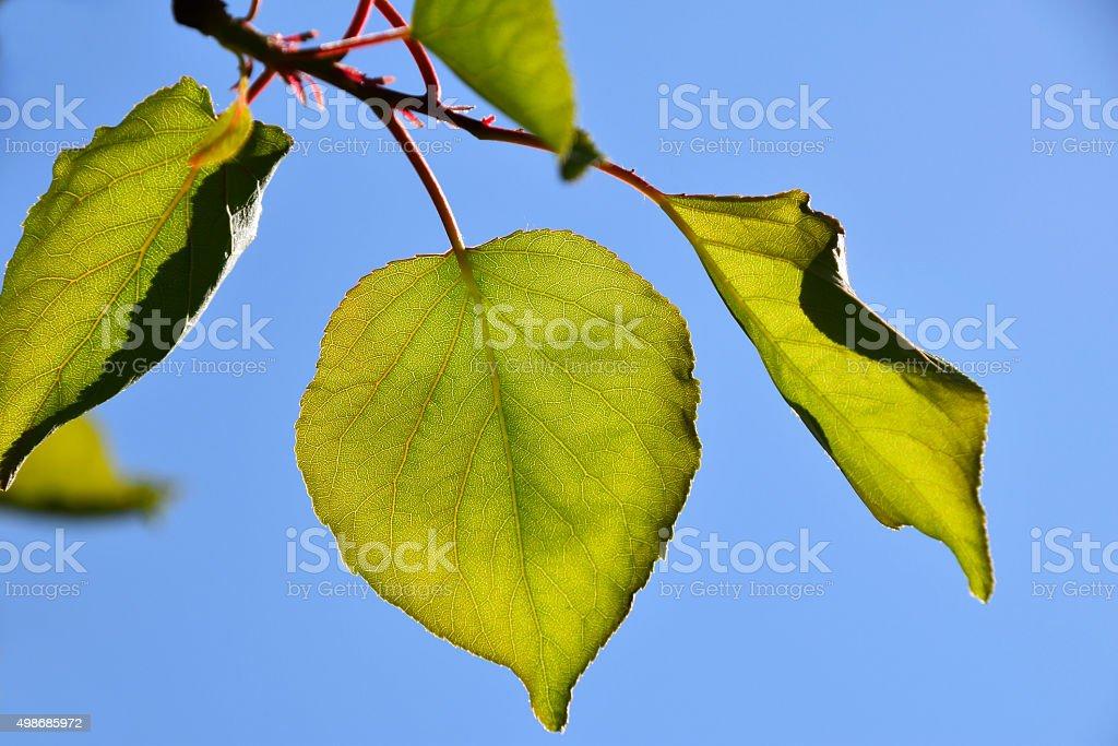 Shiny translucent apricot tree leaves on bright blue sky royalty-free stock photo
