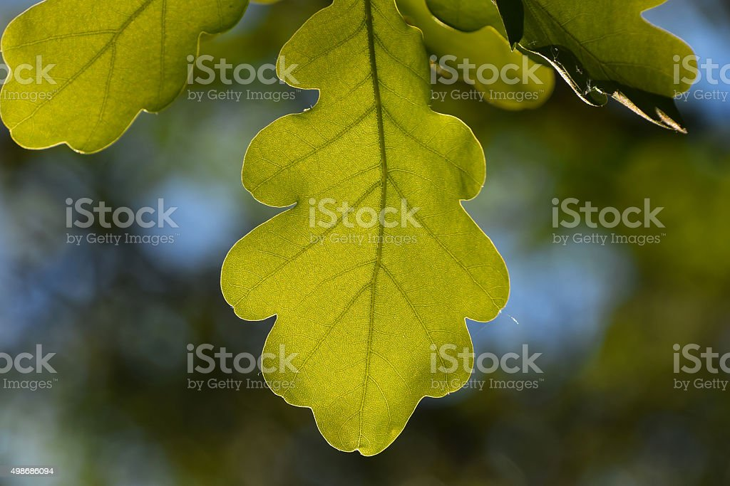 Shiny vivid translucent oak tree leaf on blue sky royalty-free stock photo