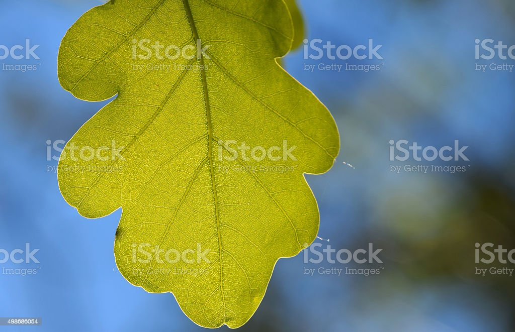 Shiny vivid translucent oak tree leaf on bright blue sky royalty-free stock photo