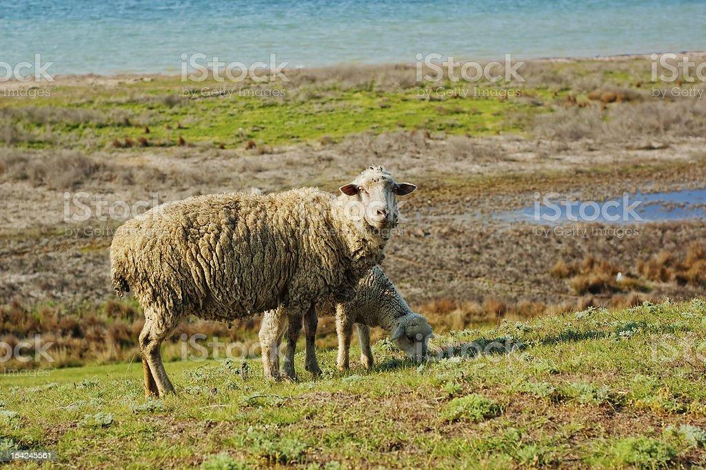 Ship and lamb pasturing royalty-free stock photo