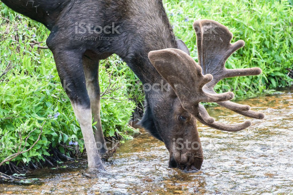 Shiras Moose of The Colorado Rocky Mountains stock photo