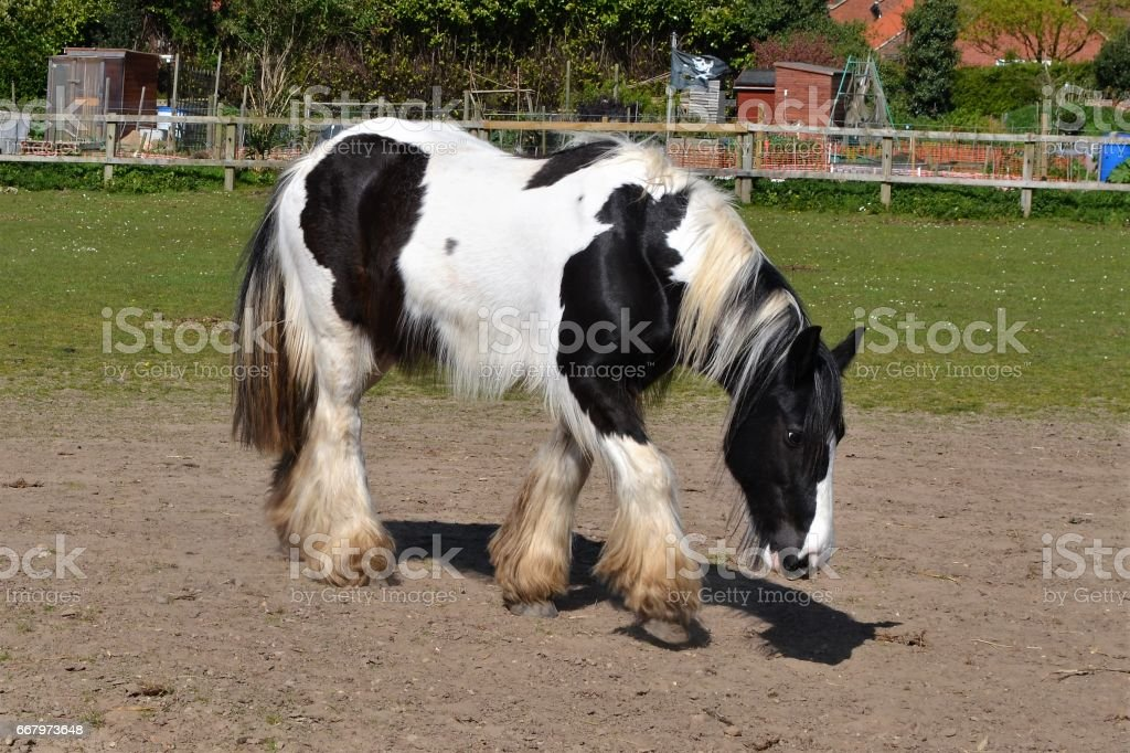 shire horse black and white stock photo