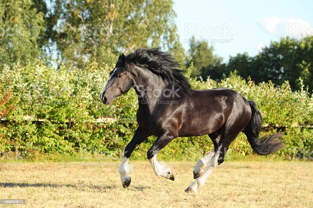 Shire horse galloping on summer meadow stock photo