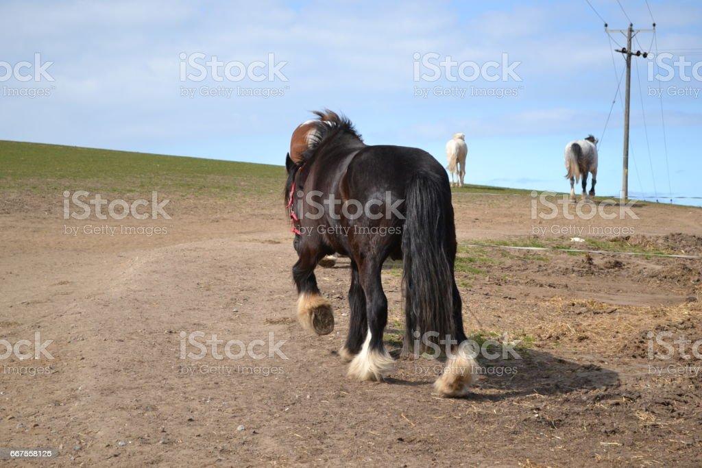 shire horse walking away stock photo