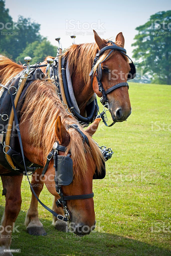 Shire horses in sunny field resting at country fair stock photo