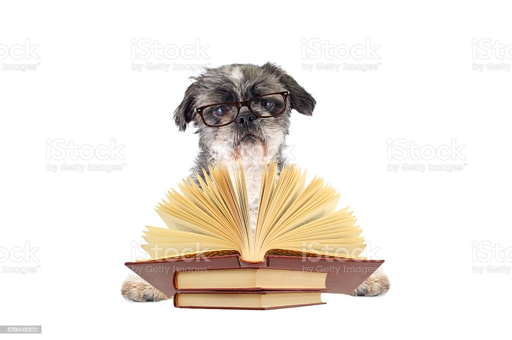 Shitsu Dog Reading Glasses Open Book stock photo