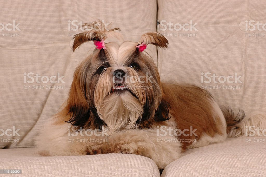 Shi-tsu with hairstyle lying on the sofa royalty-free stock photo