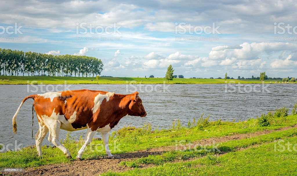 Shitting young cow on the bank of a river stock photo