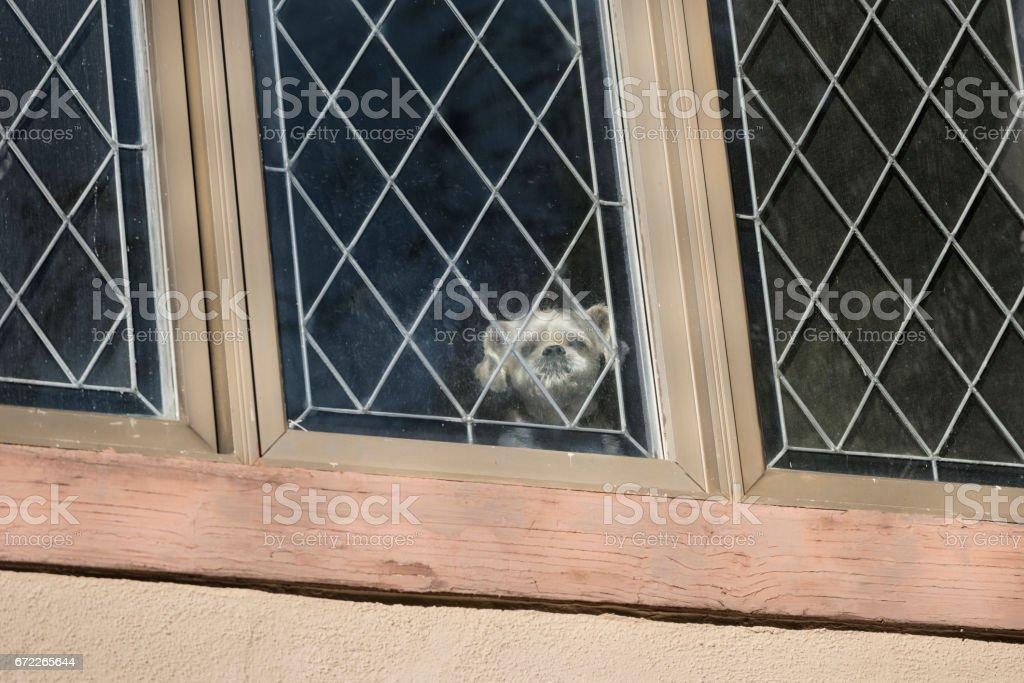 Shitzu Mishmosh dog peering out dirty leaded window stock photo