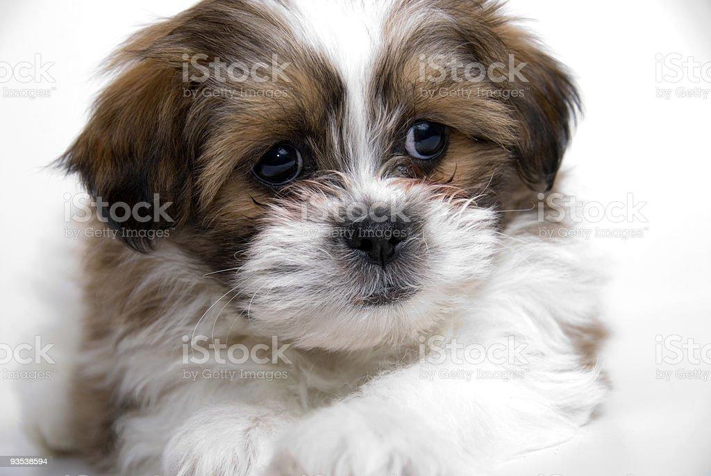 Shitzu Puppy royalty-free stock photo