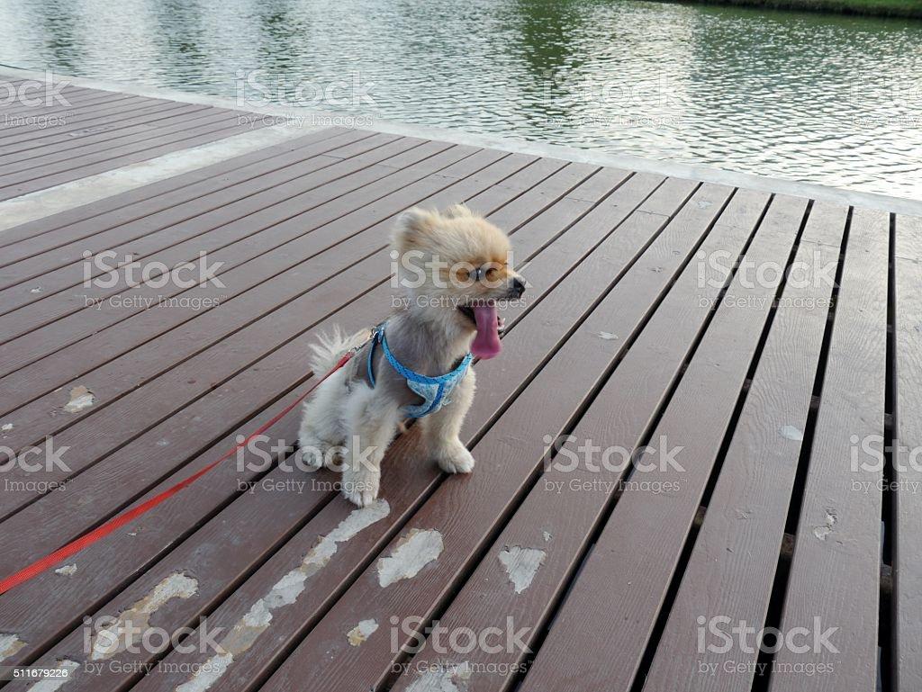 Shizu dog stock photo
