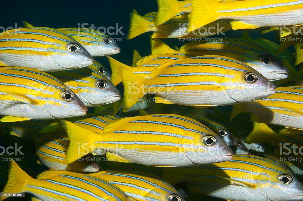 Shoal of bluestripe snapper in the Maldives stock photo