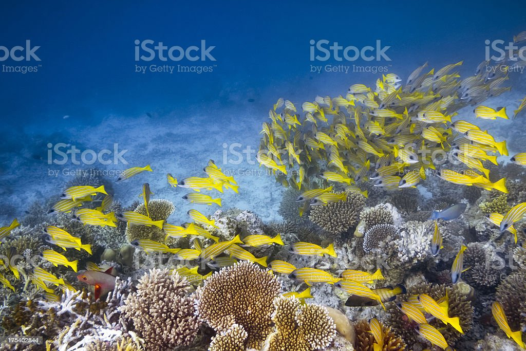Shoal of Bluestripe Snapper / Lutjanus kasmira on Coral Reef stock photo