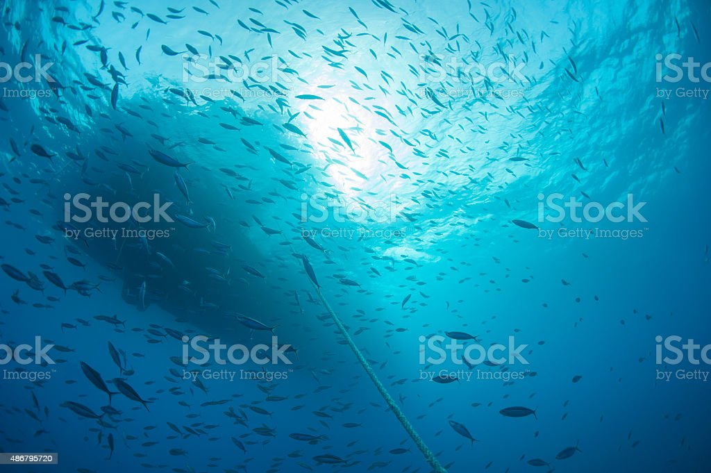 Shoal of fish silhouetted underwater stock photo