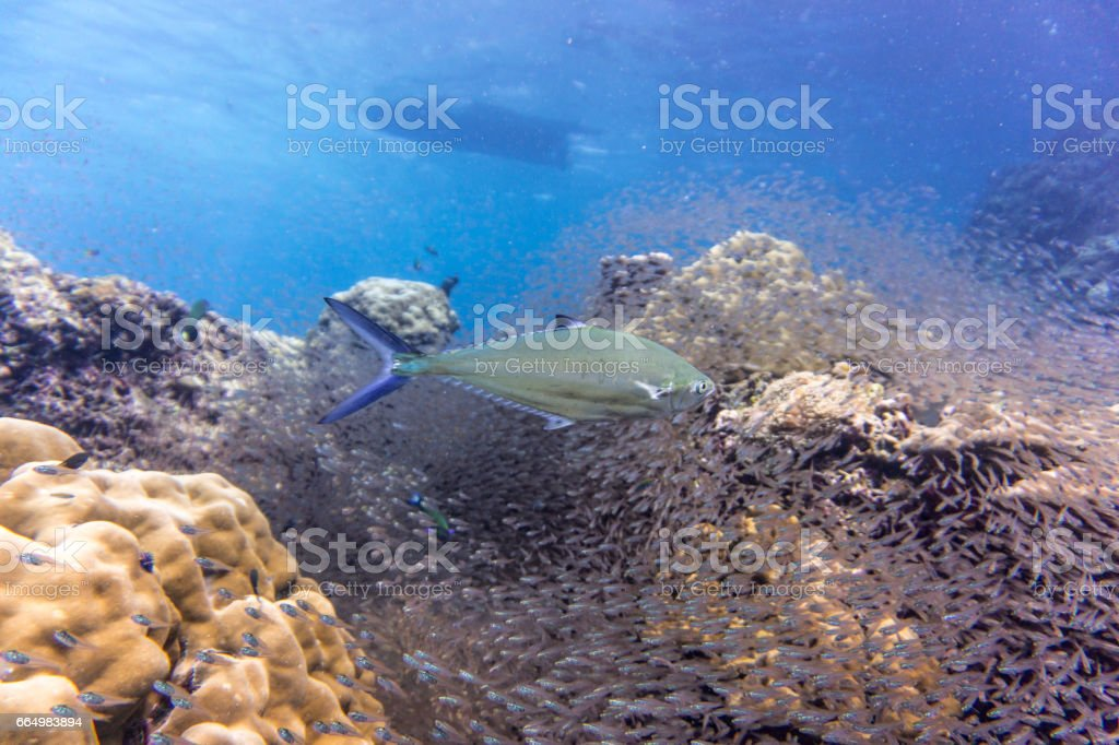 Shoal of Glass fish aka Pygmy Sweeper (Parapriacanthus ransonneti) being hunted by Bluefin Trivially (Caranx melampygus) on Coral Reef Ecosystem Ocean Environment.  The location is Koh Haa Islands, Andaman Sea, Krabi, Thailand. stock photo
