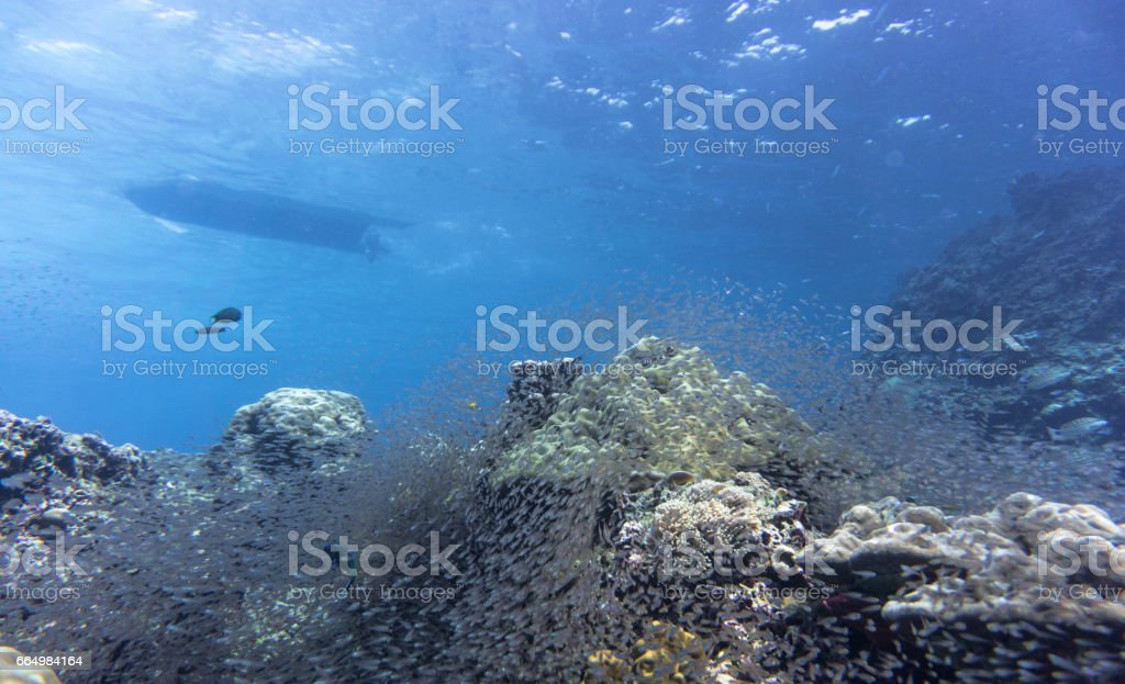 Shoal of Glass fish aka Pygmy Sweeper (Parapriacanthus ransonneti) on Coral Reef Ecosystem, Koh Haa Islands, Andaman Sea, Krabi, Thailand. stock photo