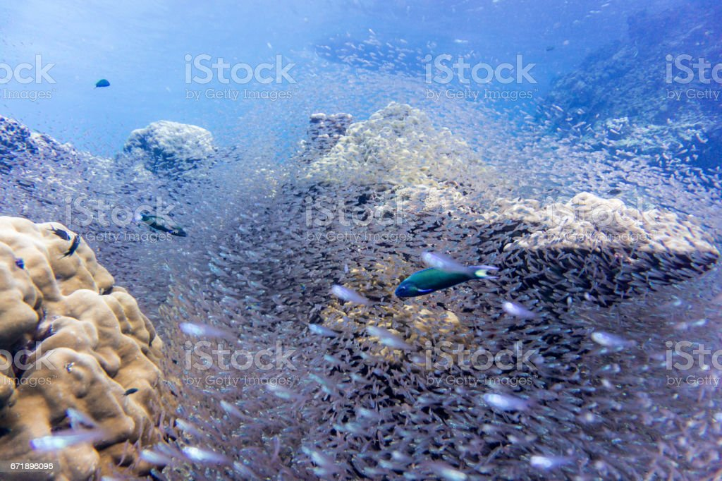 Shoal of Glass fish aka Pygmy Sweeper (Parapriacanthus ransonneti) on Coral Reef Ecosystem Ocean Environment, Ko Haa Islands, Andaman Sea, Krabi, Thailand. stock photo
