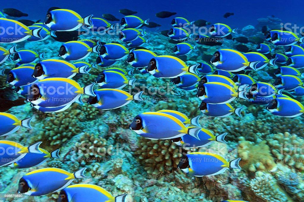 Shoal of powder blue tang surgeonfish stock photo