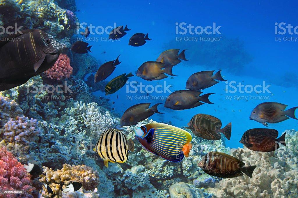 Shoal of Sailfin tang, Red Sea, Egypt stock photo