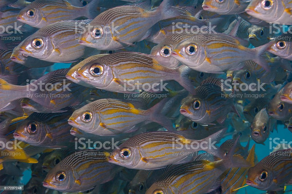 Shoal of Striped large-eye bream stock photo