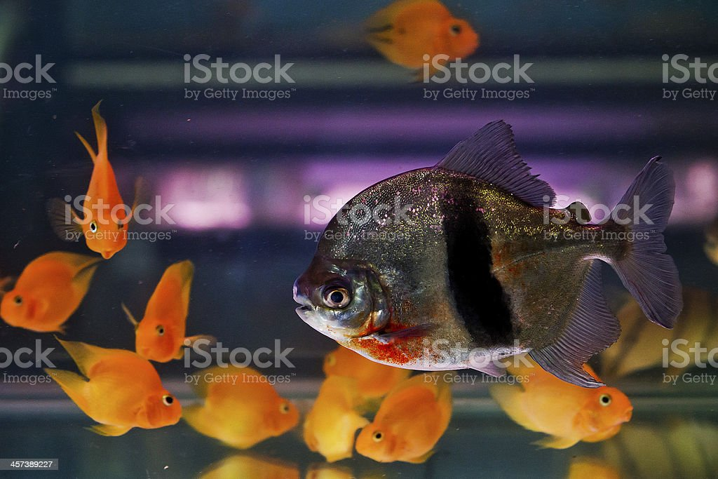 Shoal of tropical piranha fishes in freshwater aquarium stock photo