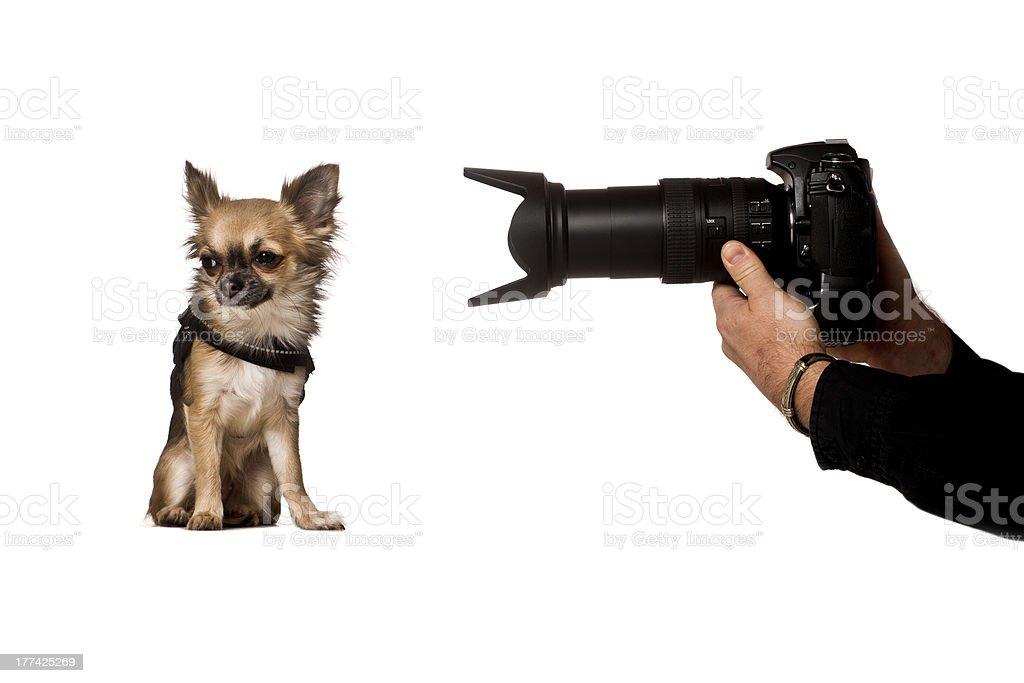 shoot the chihuahua stock photo