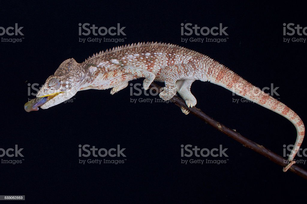Shooting chameleon (Furcifer oustaleti) stock photo
