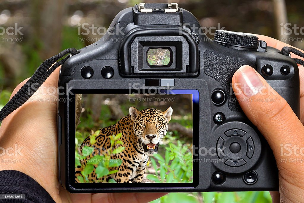 Shooting jaguar in wildlife royalty-free stock photo