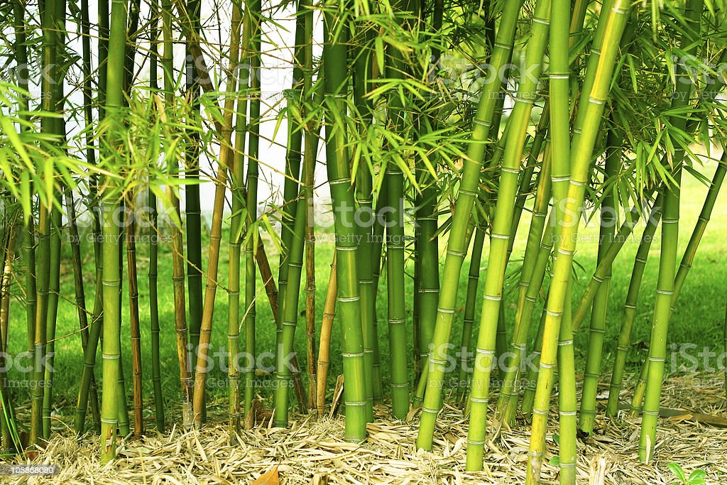 Shoots of green bamboo in a field stock photo
