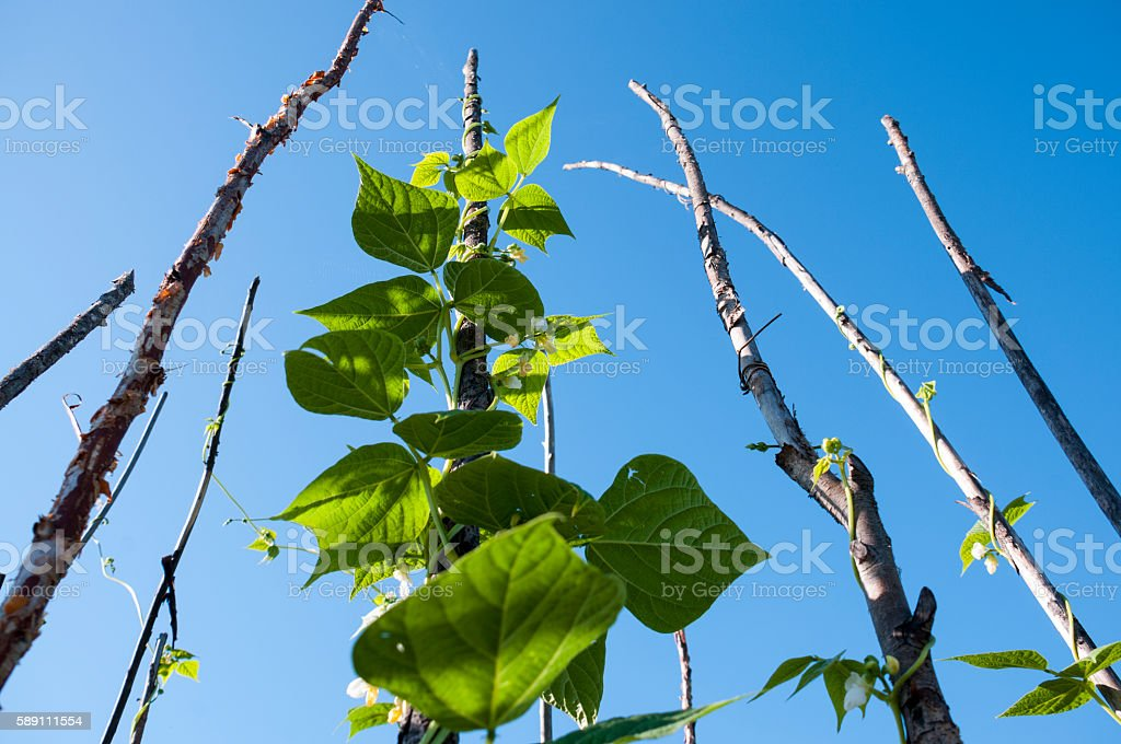 Shoots of green beans on a background of blue sky stock photo