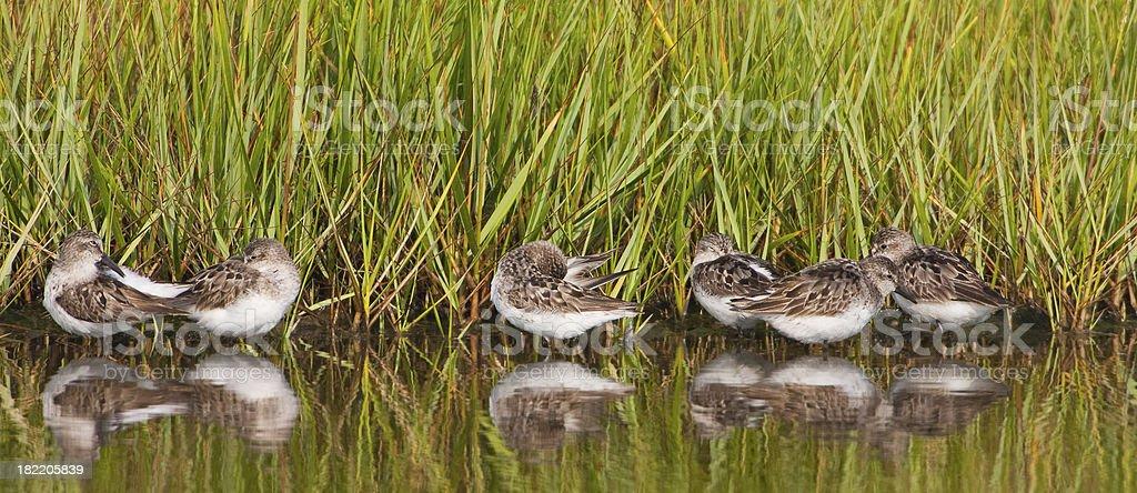 Shore birds in wetland stock photo