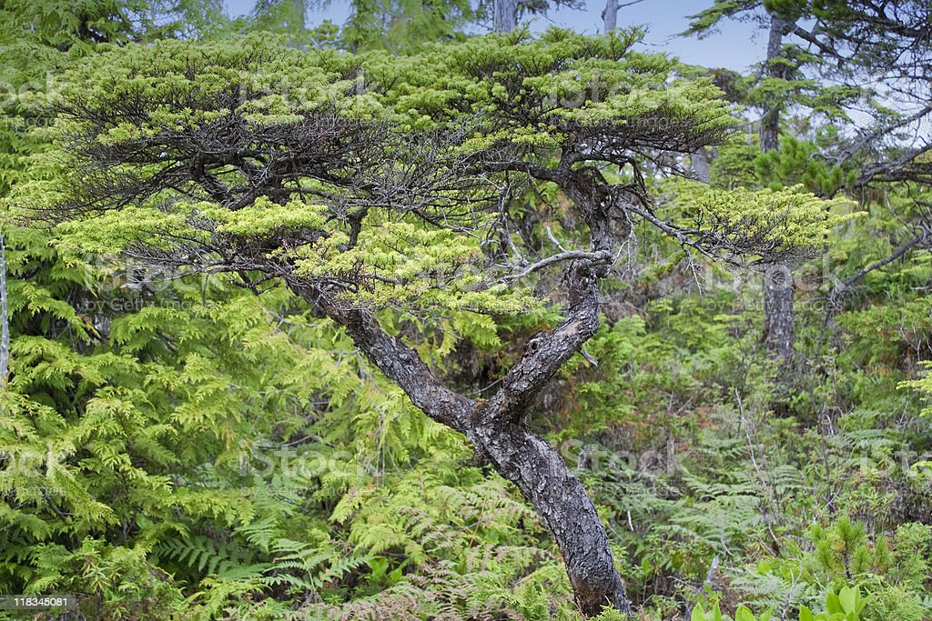Shore Pines in a Bog royalty-free stock photo