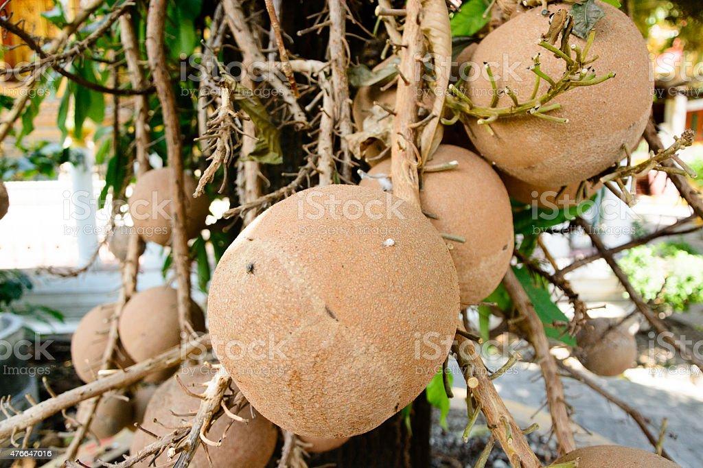 Shorea robusta roxb or Cannonball flower stock photo