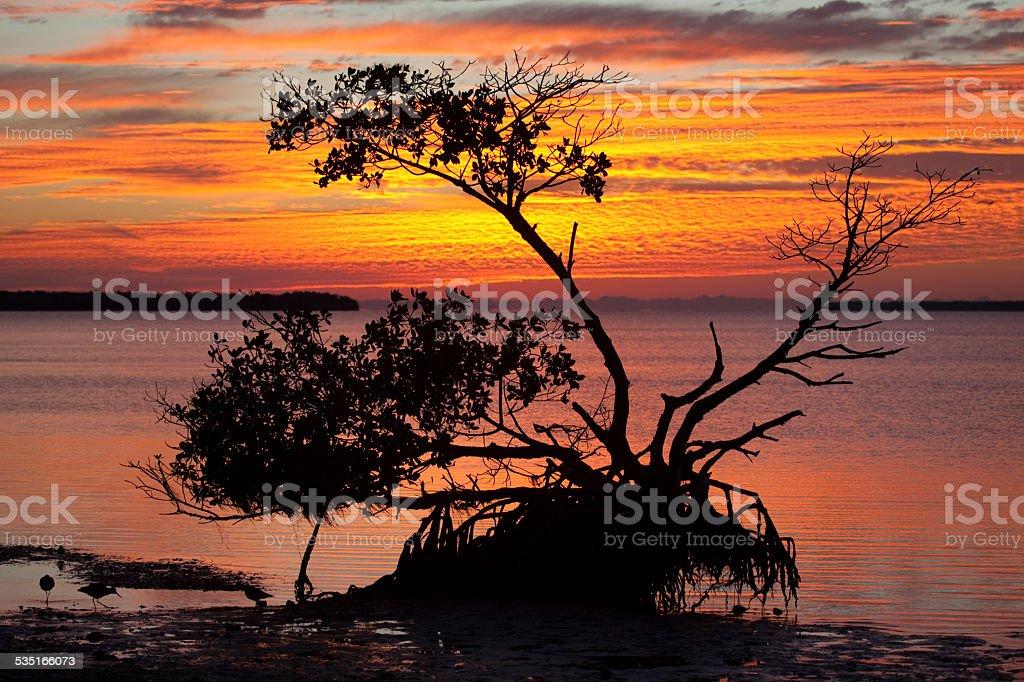 Shorebirds and mangrove tree sunrise Over Florida Everglades NP stock photo