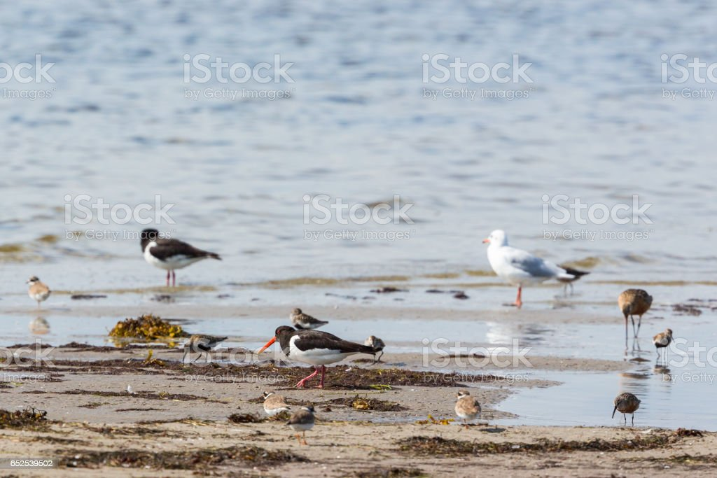 Shorebirds at the beach stock photo
