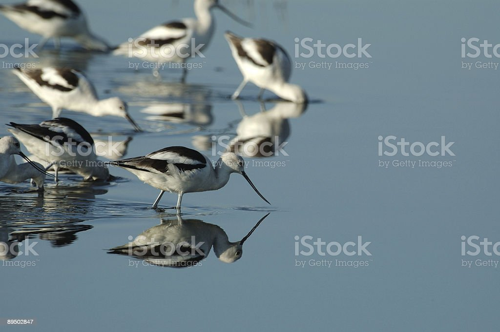 Shorebirds feeding in still waters stock photo