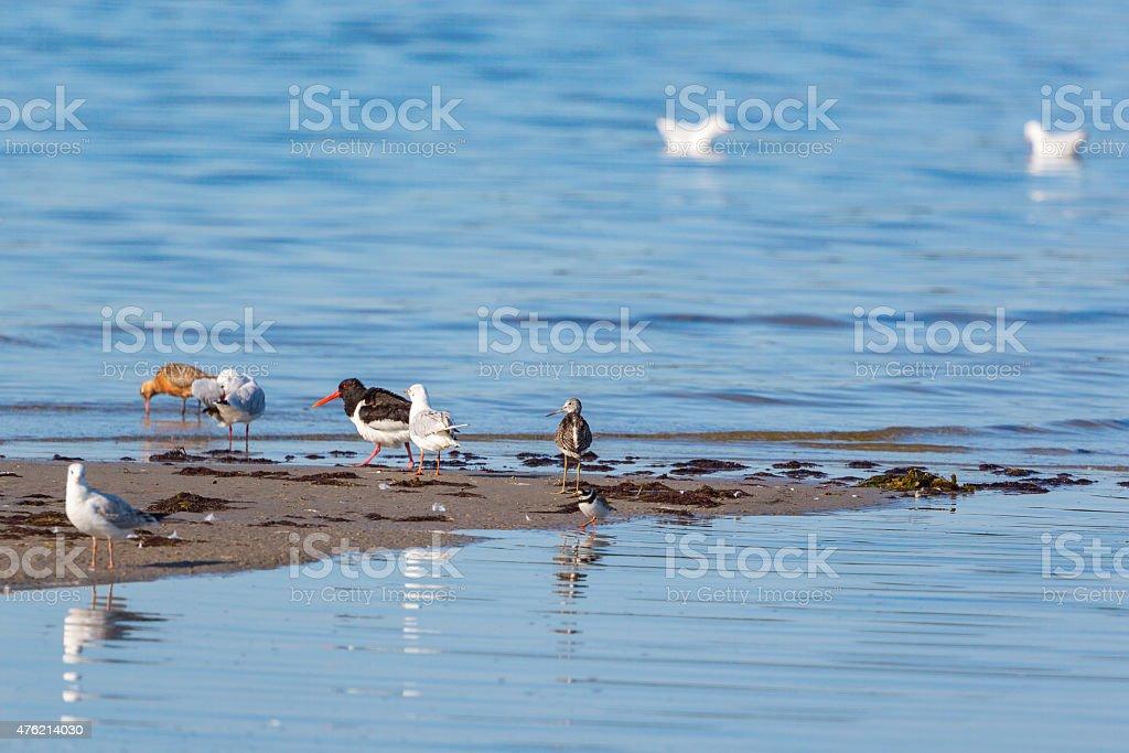 Shorebirds on a beach stock photo