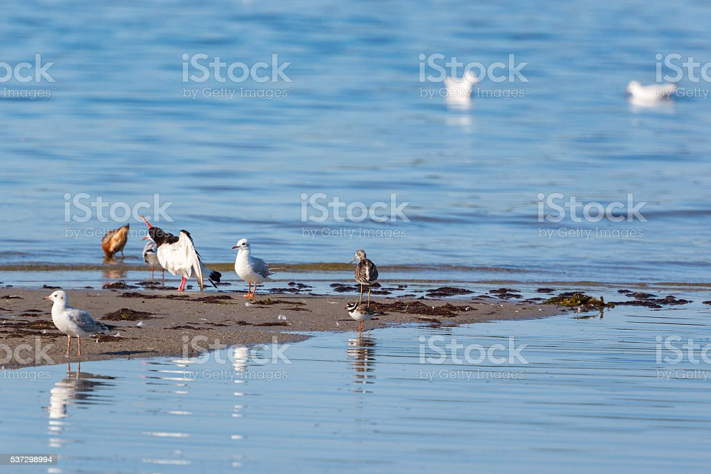 Shorebirds on a beach stock photo