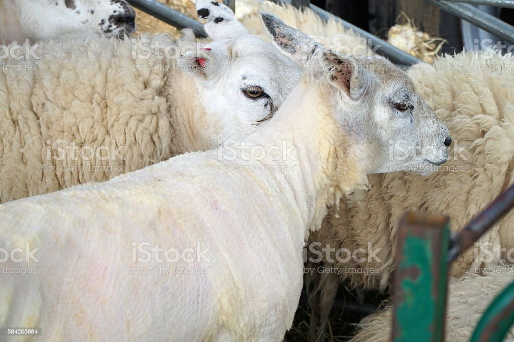 Shorn and Woolly Sheep In Pen stock photo