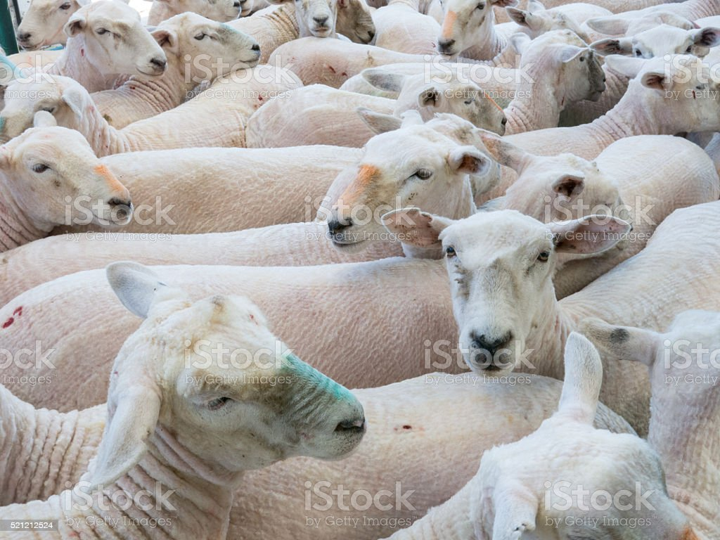 Shorn sheep in enclosure stock photo