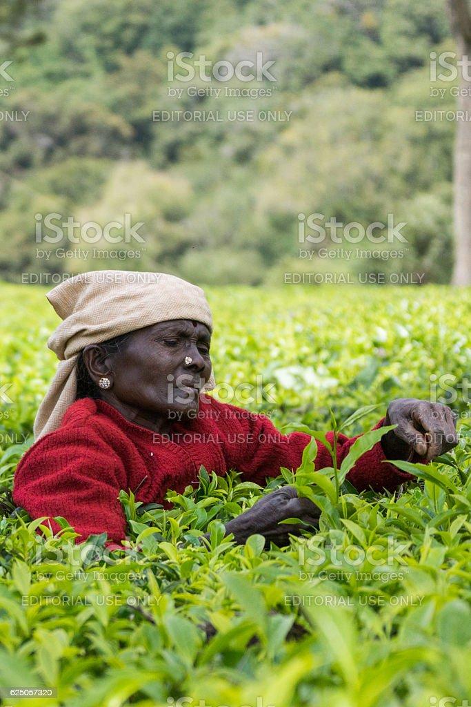 Short black faced lady picks tea leaves. stock photo