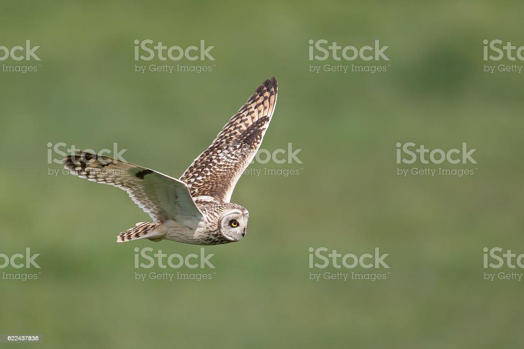 Short eared Owl in flight stock photo