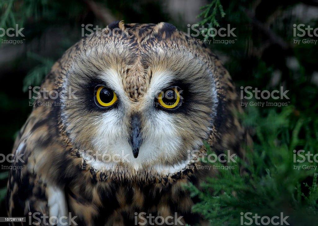 Short Eared Owl royalty-free stock photo